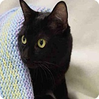 Adopt A Pet :: CLEO - Fort Collins, CO