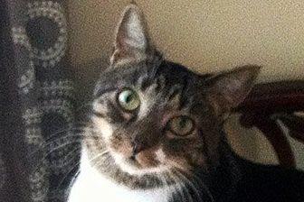 Domestic Shorthair Cat for adoption in Durham, North Carolina - Selene