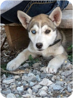 Husky Mix Puppy for adoption in Dublin, Texas - Dakota
