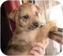Australian Shepherd Mix Puppy for adoption in Lonedell, Missouri - Banquette