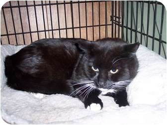 Domestic Shorthair Cat for adoption in North Haven, Connecticut - Ivanhoe
