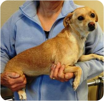 Chihuahua Mix Dog for adoption in Nuevo, California - Cyndie
