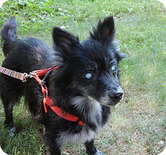 Pomeranian/Dachshund Mix Dog for adoption in Madison, Wisconsin - Marjie
