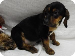 Black and Tan Coonhound/Plott Hound Mix Puppy for adoption in Spruce Pine, North Carolina - Hudson