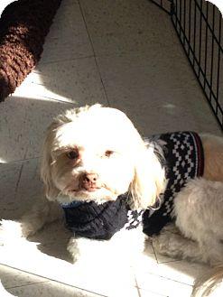 Shih Tzu/Lhasa Apso Mix Dog for adoption in Brea, California - Charlie
