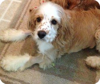 Cocker Spaniel Puppy for adoption in Sacramento, California - Daisy