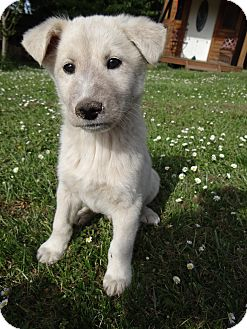 Samoyed/Husky Mix Puppy for adoption in Salem, Oregon - Colby