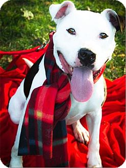 Pit Bull Terrier Mix Dog for adoption in Freeport, New York - Friendly