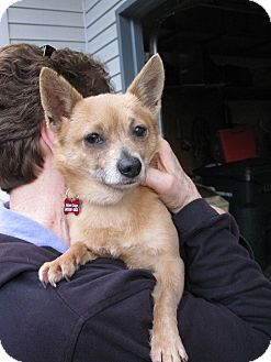 Chihuahua/Pomeranian Mix Dog for adoption in Salem, Oregon - Mitsy