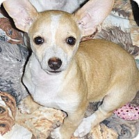 Adopt A Pet :: Cholla - Chandler, AZ