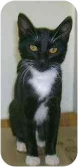 Domestic Shorthair Cat for adoption in Molalla, Oregon - Kizzie