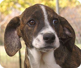 Terrier (Unknown Type, Medium) Mix Puppy for adoption in Plainfield, Connecticut - Ragdoll