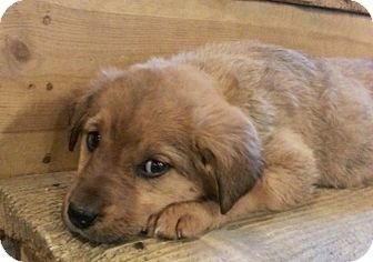 Golden Retriever/Beagle Mix Puppy for adoption in Chicago, Illinois - Violet Gray*ADOPTED!*