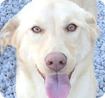 Labrador Retriever Puppy for adoption in Winchester, Kentucky - DYLAN(WHAT A STORY-PLS READ!!