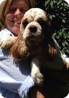 Cocker Spaniel Dog for adoption in Flushing, New York - Lily Mae