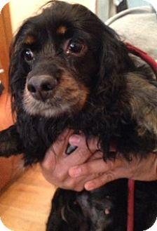Cocker Spaniel Dog for adoption in Flushing, New York - Estee