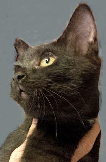 Domestic Shorthair Kitten for adoption in Seneca, South Carolina - Chalette