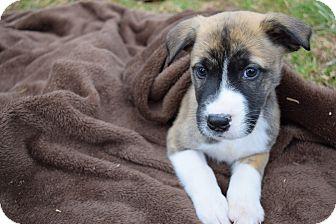 Husky Mix Puppy for adoption in Seneca, South Carolina - Apollo $250