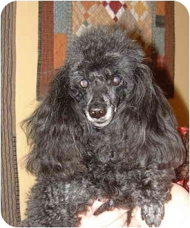 Poodle (Toy or Tea Cup) Dog for adoption in San Diego (all areas), California - Connor-ADOPTED!!!