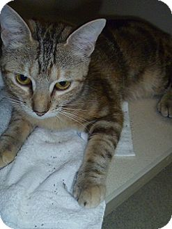 Domestic Shorthair Cat for adoption in Hamburg, New York - Penny