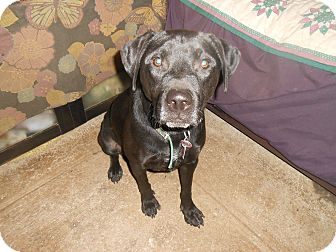 Labrador Retriever Mix Dog for adoption in North Jackson, Ohio - Toby