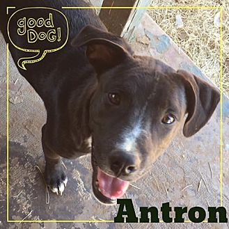 Pointer Mix Puppy for adoption in Snyder, Texas - Antron