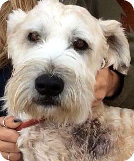Wheaten Terrier Dog for adoption in Los Angeles, California - UTAH (video)