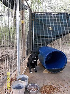 Labrador Retriever/Border Collie Mix Dog for adoption in Marianna, Florida - Chance