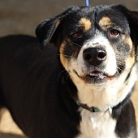 Entlebucher Mix Dog for adoption in Von Ormy, Texas - Rainey