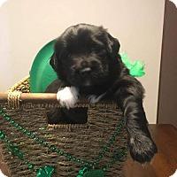 Adopt A Pet :: Acacia's Puppy ANISE - Murrells Inlet, SC