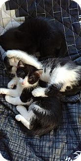 Domestic Shorthair Kitten for adoption in Ogden, Utah - Nomoo