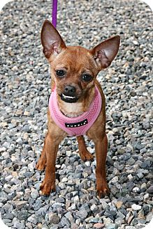 Chihuahua Mix Dog for adoption in Bellingham, Washington - Bella