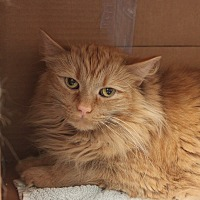 Adopt A Pet :: Captain Fuzzy Pants - Naperville, IL