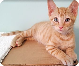 Domestic Shorthair Kitten for adoption in Youngsville, North Carolina - Persephone17