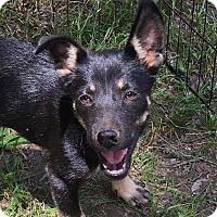 Adopt A Pet :: Mika - beautiful & smart - Stamford, CT