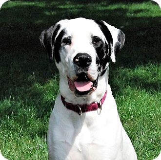 Great Dane/St. Bernard Mix Dog for adoption in Indianapolis, Indiana - Lilly
