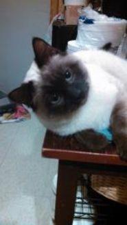 Domestic Shorthair/Domestic Shorthair Mix Cat for adoption in East Norriton, Pennsylvania - Marlin