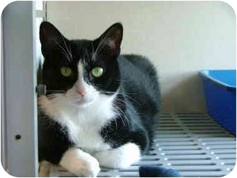 Domestic Shorthair Cat for adoption in Winter Haven, Florida - Stubby