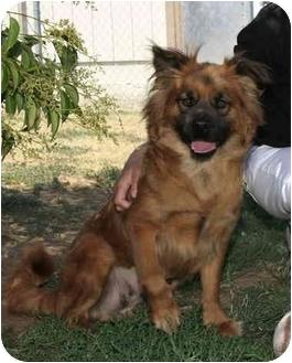 Shepherd (Unknown Type)/Chow Chow Mix Dog for adoption in Sacramento, California - Gretta