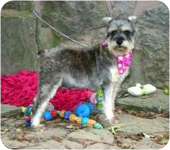 Schnauzer (Miniature) Dog for adoption in Muldrow, Oklahoma - Dorothy