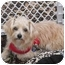 Photo 3 - Yorkie, Yorkshire Terrier/Maltese Mix Puppy for adoption in West Palm Beach, Florida - Bradley