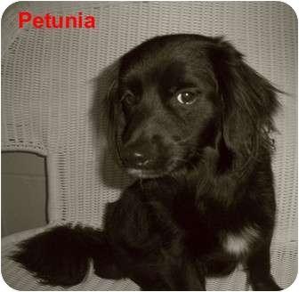 Spaniel (Unknown Type) Mix Dog for adoption in Slidell, Louisiana - Petunia