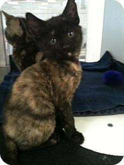 Domestic Shorthair Kitten for adoption in mishawaka, Indiana - Ravenna - PAWMART