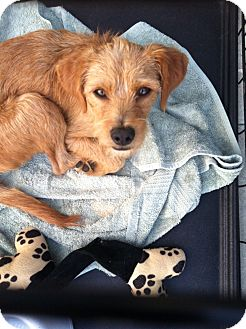 Border Terrier/Terrier (Unknown Type, Small) Mix Dog for adoption in Culver City, California - Twinkie