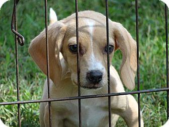Beagle/Beagle Mix Puppy for adoption in Syacuse, New York - Mason