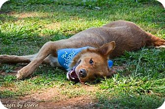 Golden Retriever/Shepherd (Unknown Type) Mix Dog for adoption in Chattanooga, Tennessee - Tripp