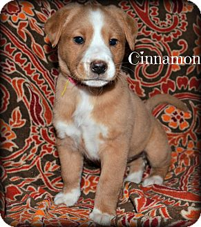Labrador Retriever/Collie Mix Puppy for adoption in Cranford, New Jersey - Cinnamon
