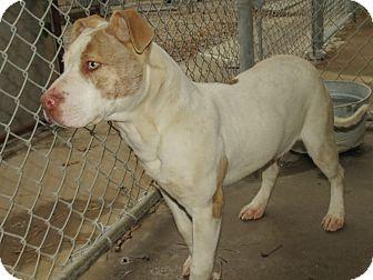 Pit Bull Terrier Mix Dog for adoption in Henderson, North Carolina - Junior