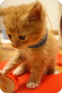 Domestic Shorthair Kitten for adoption in Washburn, Wisconsin - Barium
