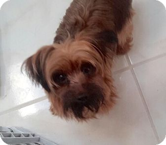 Yorkie, Yorkshire Terrier Puppy for adoption in Naples, Florida - Clover